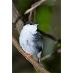 White-bearded Manakin Male