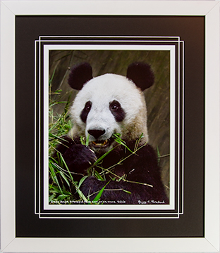 Framed Panda Eating 4