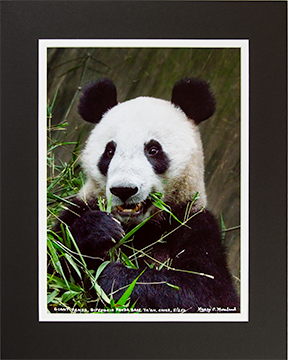 Matted Panda Eating 5