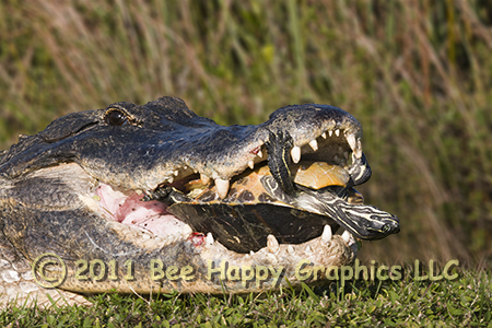 Alligator with Turtle