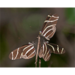 zebra longwing buttefly