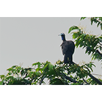 Trinidad Piping Guan