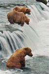 Three Grizzly Bears