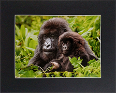 Matted Mother gorilla 2