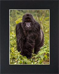 Matted Silverback 1