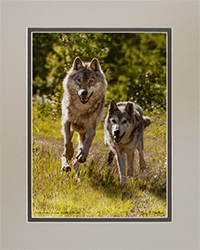Matted Gray Wolves 1