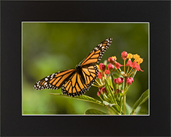 Matted Monarch 6