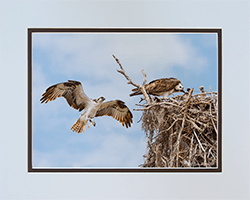 Matted Ospreys 22