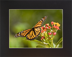 Matted Monarch 7