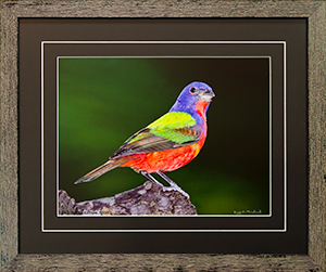 Framed Male Bunting 4