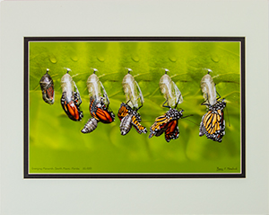 Matted Emerging Monarch 20