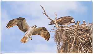 Small Canvas Ospreys