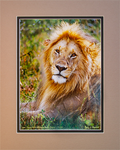 Matted Lion 4