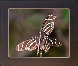 Matted Longwing
