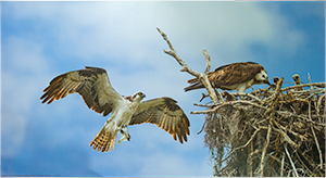 Large Canvas Ospreys