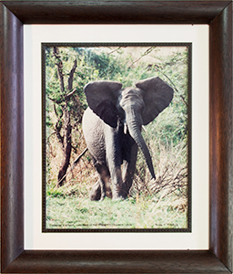 Framed Charging Elephant 1