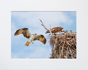 Matted Ospreys 9