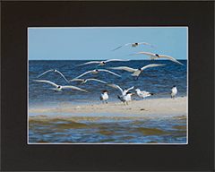 Matted Royal Terns 1