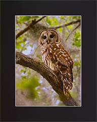 Matted Barred Owl 11