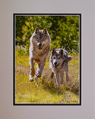 Matted Gray Wolves 3
